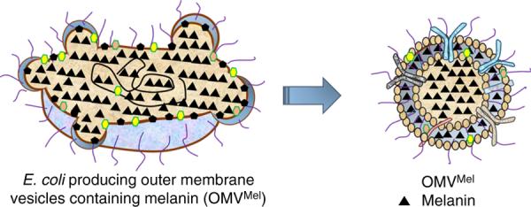 Schematic representation of OMV generation.