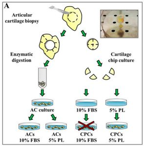 Experimental design of cell cultures (articular chondrocytes (ACs) and chondro-progenitors (CPCs) from human articular cartilage biopsies.